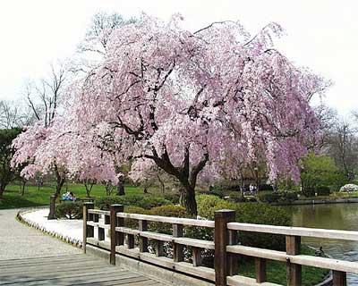 http://www.japankiku.com/tour/img/sakura_weeping01.jpg